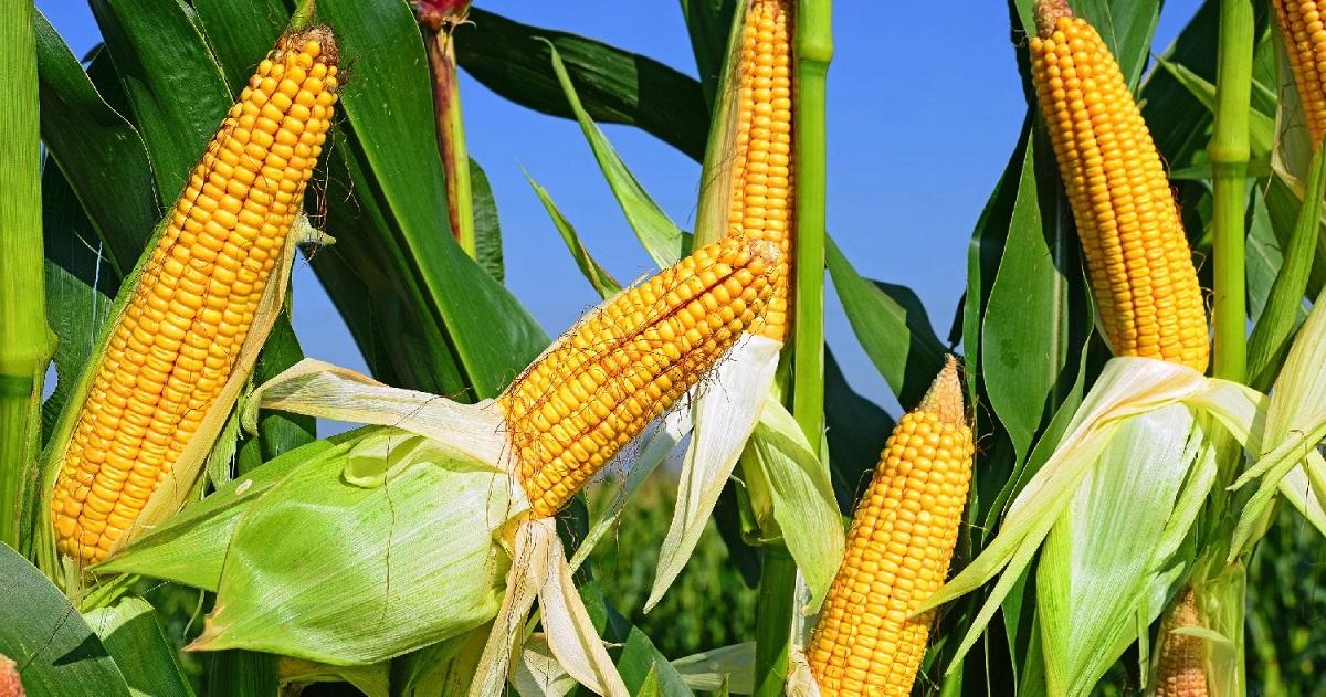 Выращивание кукурузы в ссср 2
